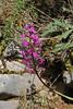 Orchis quadripunctata, Kipi, Metsovon-Monodendri