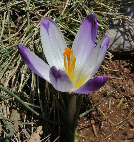 Crocus sieberi ssp. sublimis, Parnassos 2457m