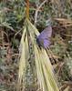Plebejus pylaon (male), near Metallio, Lamia-Karditsa