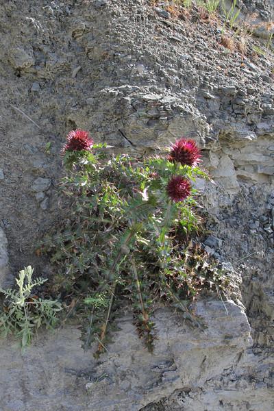 Onopordum cf. illyricum, Perdalofos, Konitsa-Siatista (H)