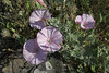 Convolvulus althaeoides, Delphi-Kroki, Above geological site
