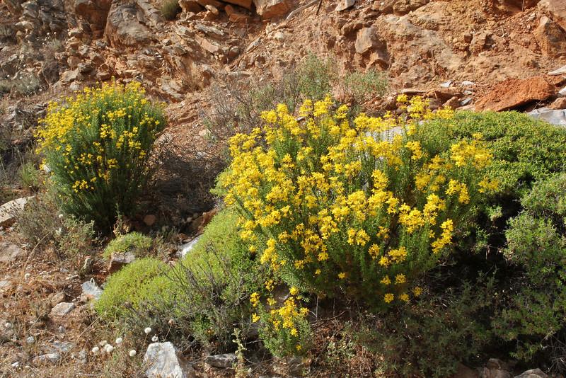 Hypericum empetrifolium, Mount Imittos 1026m, N of Athens