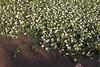 Ranunculus cf. trichophyllus, 1100m, Livadia Plain, Parnassos 2457m