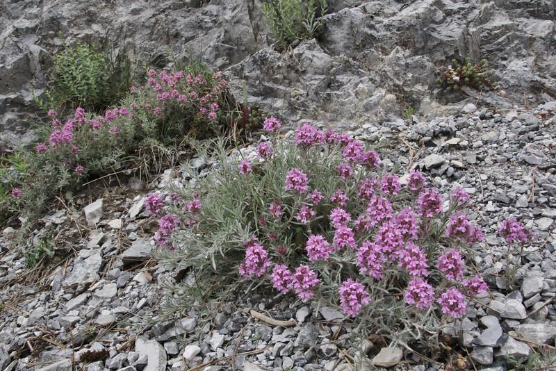 Thymus boissieri, Agios Dionysios  Monastery-Prionia, Olympic NP