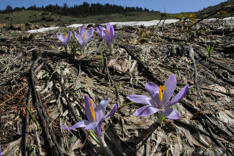 Crocus veluchensis, partially serpentine, Kataras Pass 1690m, N of Metsovo