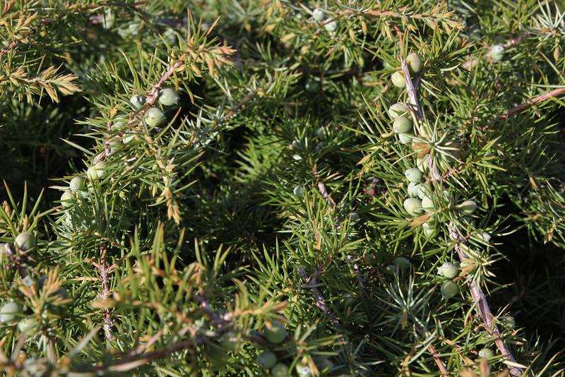 Juniperus communis ssp. alpina, partially serpentine, Katara Pass 1690m, N of Metsovo