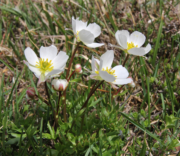 Ranunculus cucuminis, Kajmaktcalan, 2521m, near the Macedonian border (L)