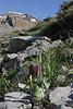 Fritillaria graeca, Parnassos 2457m