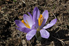 Crocus veluchensis, 1670m, partially serpentine, Kataras Pass 1690m, N of Metsovo
