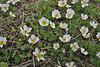 Ranunculus cacuminis, 2000m, Kajmaktcalan, 2521m, near the Macedonian border (L)