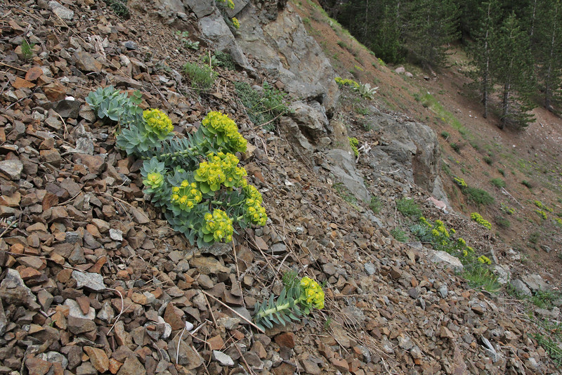 Euphorbia myrsinites, E-side of Kataras  Pass 1690m, N of Metsovo