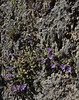 Campanula topaliana ssp. delphica, Delphi-Kroki, Above geological site