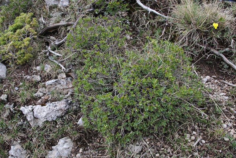 Daphne oleoides, Mount Vermion 2052m (K)