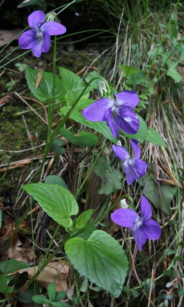 Viola riviniana, Prionia-Refuge A, Mount Olympus (M), Olympus NP
