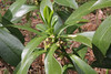 Daphne laureola, Mount Vermion 2052m (K)