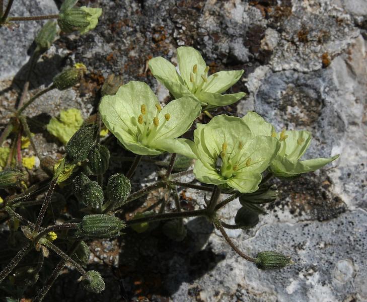 Erodium chrysanthum, 1100m, S of Livadia Plain