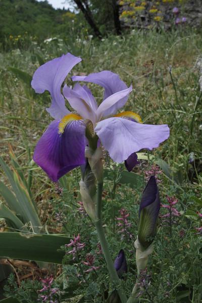 Iris germanica, Vikos Gorge, near the Monastery of Monondendri