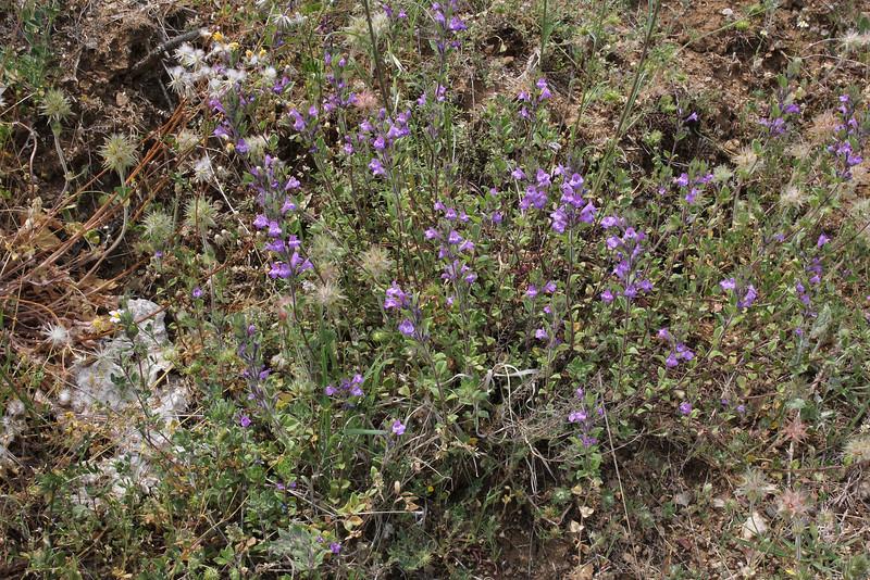 Acinos alpinus, near Metallio, Lamia-Karditsa