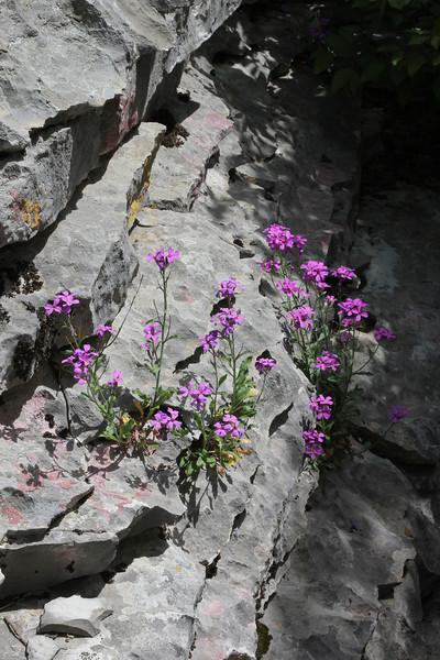 Malcolmia cf. flexuosa, 1300m Limestone rocks near the Vikos Gorge, Monondendri