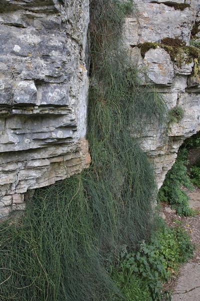 Ephedra fragilis, 1350m Vikos balcony, Vikos Gorge, near the Monastery of Monondendri
