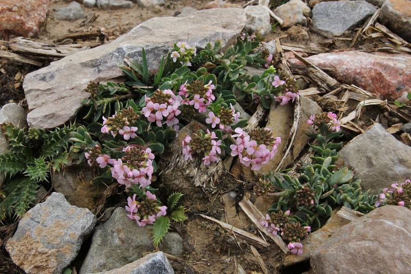 Aethionema saxatile, Mount Vermion 2052m (K)  NW of Naousa