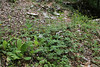 Cardamine bulbifera, Prionia-Refuge A, Mount Olympus (M), Olympus NP