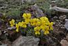 Viola graeca?, Mount Vermion 2052m (K)