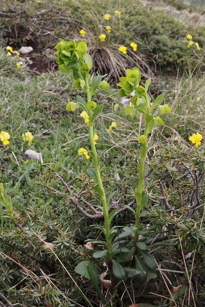 Euphorbia amygdaloides, Mount Vermion 2052m (K)