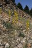 Asphodeline lutea, 1100m, Livadia Plain, Parnassos 2457m