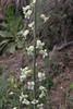 Turrititis laxa, syn. Arabis laxa, Kajmaktcalan, 2521m, near the Macedonian border (L)