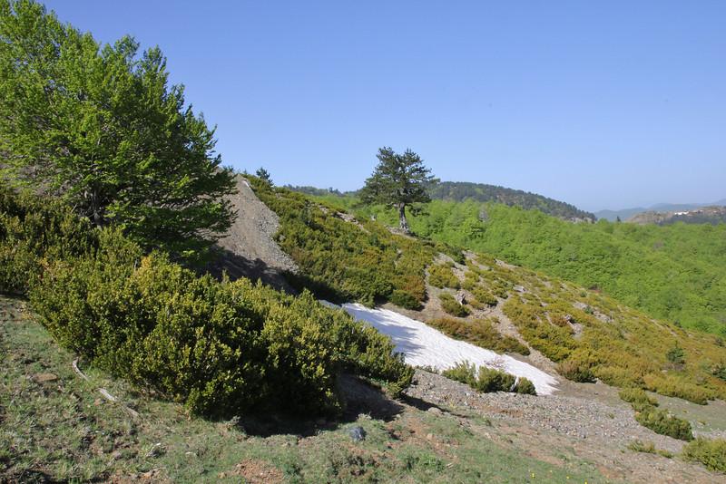 Buxus sempervirens, Kataras Pass 1690m, N of Metsovo