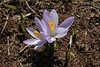 Crocus veluchensis, partially serpentine, Kataras Pass 1690m, N of Metsovo