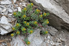 Euphorbia capitulata, Prionia-Refuge A, Mount Olympus (M), Olympus NP