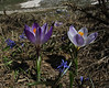 Crocus sieberi ssp. sublimis, colour forms, Parnassos 2457m