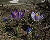 Crocus sieberi ssp. sublimis, colour forms, Parnassos 2457m