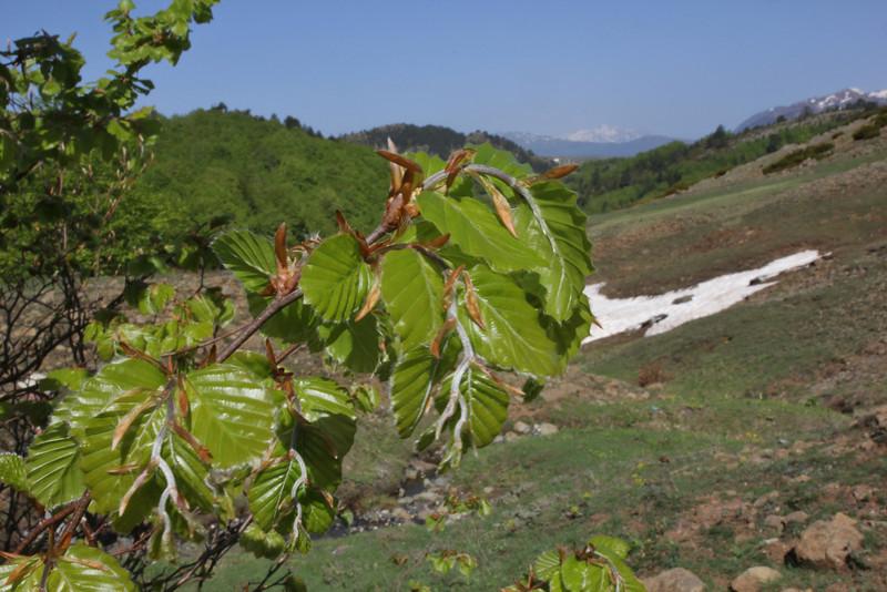 Fagus sylvatica, partially serpentine, Kataras Pass 1690m, N of Metsovo