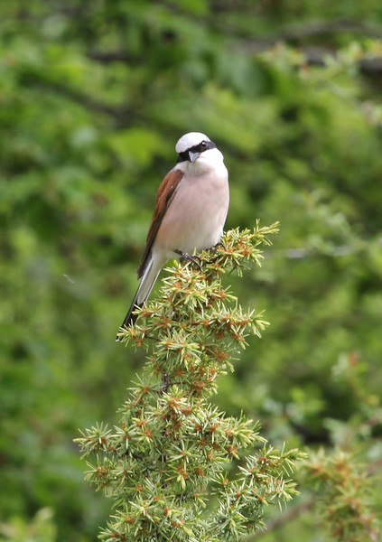 Lanius collurio, Red-backed Shrike, (NL: grauwe klauwier), Mount Vermion 2052m (K) NW of Naousa