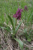 Dactylorhiza sambucina, E-side of Kataras  Pass 1690m, N of Metsovo