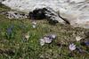 Crocus sieberi ssp. sublimis and Scilla bifolia, Parnassos 2457m
