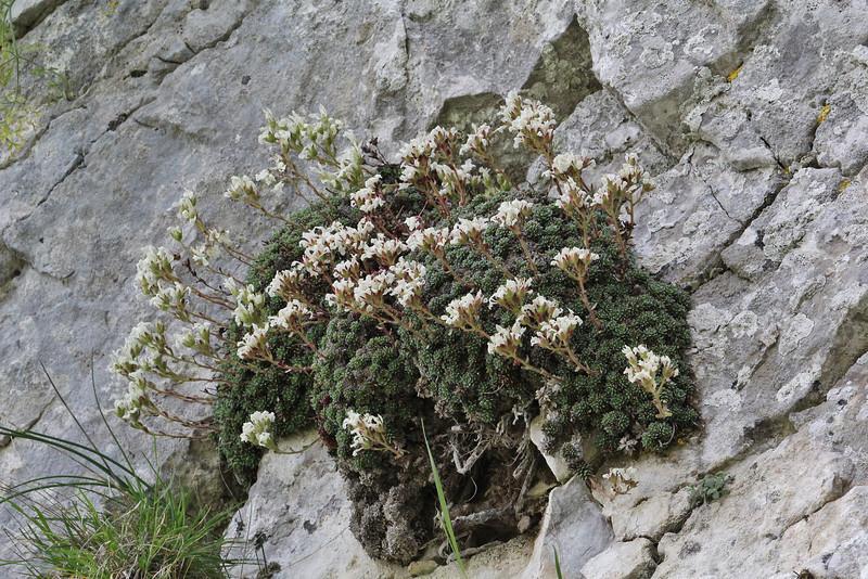 Saxifraga marginata, Vikos Balcony, near Monastery at Monondendri