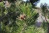 Pinus nigra ssp. pallasiana, partially serpentine, Kataras Pass 1690m, N of Metsovo