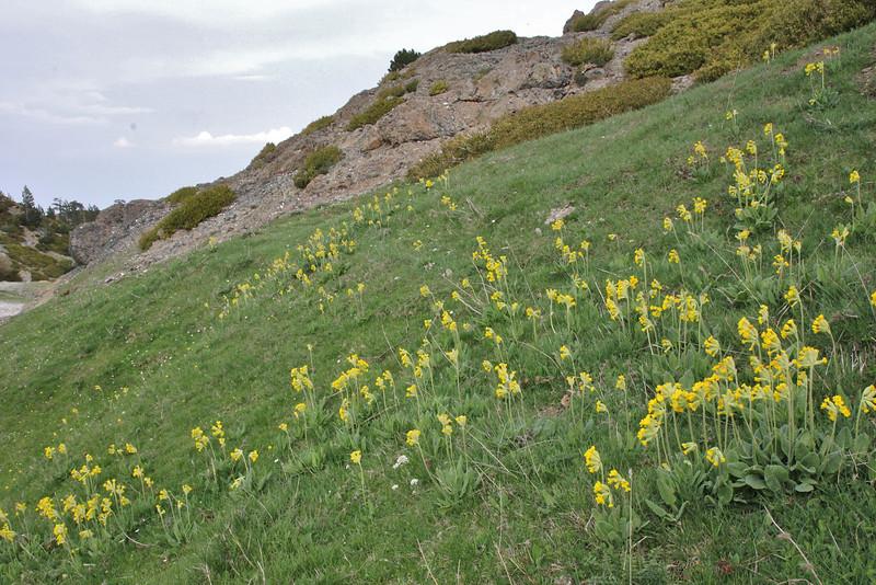 Primula veris ssp. intricata, Kataras Pass 1690m, N of Metsovo