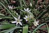 Ornithogalum sibthorpii, partially serpentine, Kataras Pass 1690m, N of Metsovo