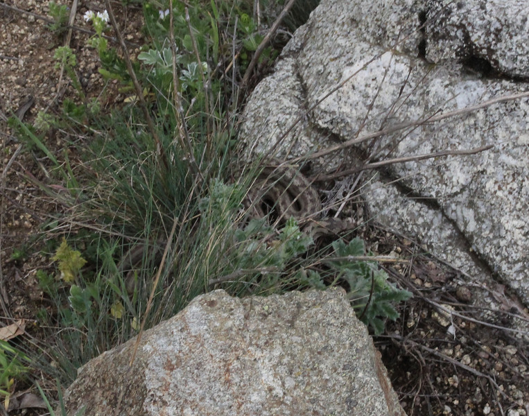 Coronella austriaca, Smooth Snake, (NL: gladde slang), Kajmaktcalan, 2521m, near the Macedonian border (L)