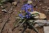 Scilla bifolia, Parnassos 2457m