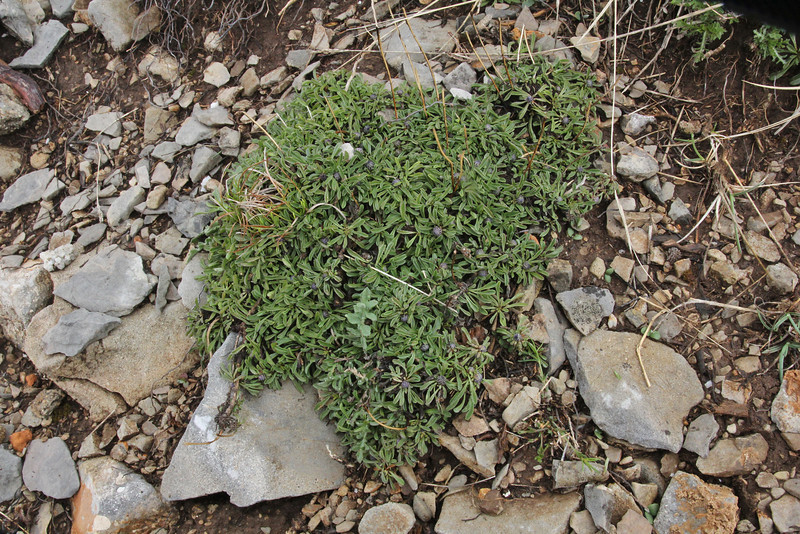 Globularia cordifolia in bud, Mount Vermion 2052m (K)