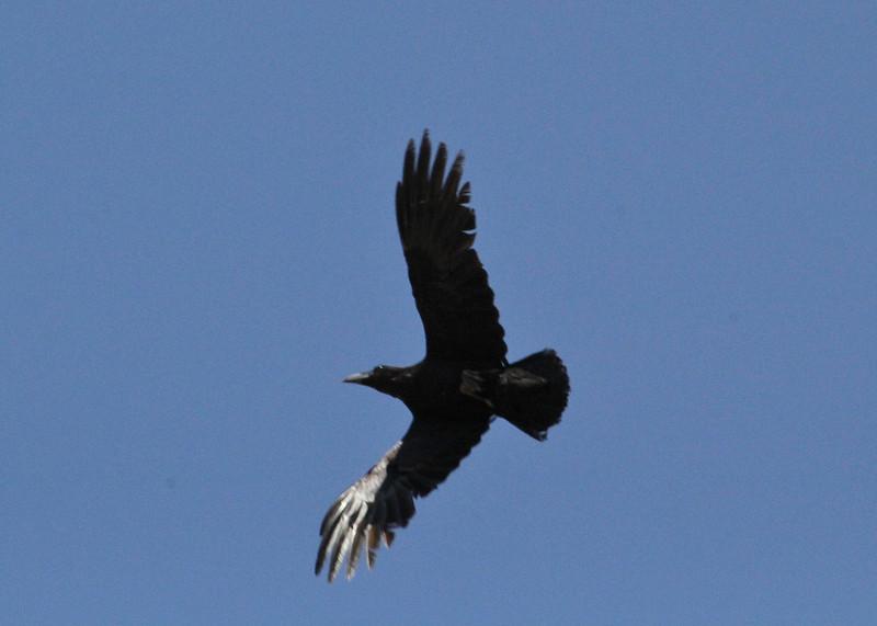Corvus corax, Raven, Arahova-Amfissa