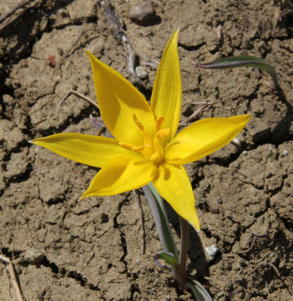 Tulipa australis, 1650m serpentine, 2km after snow plow station, Kataras pass 1690m