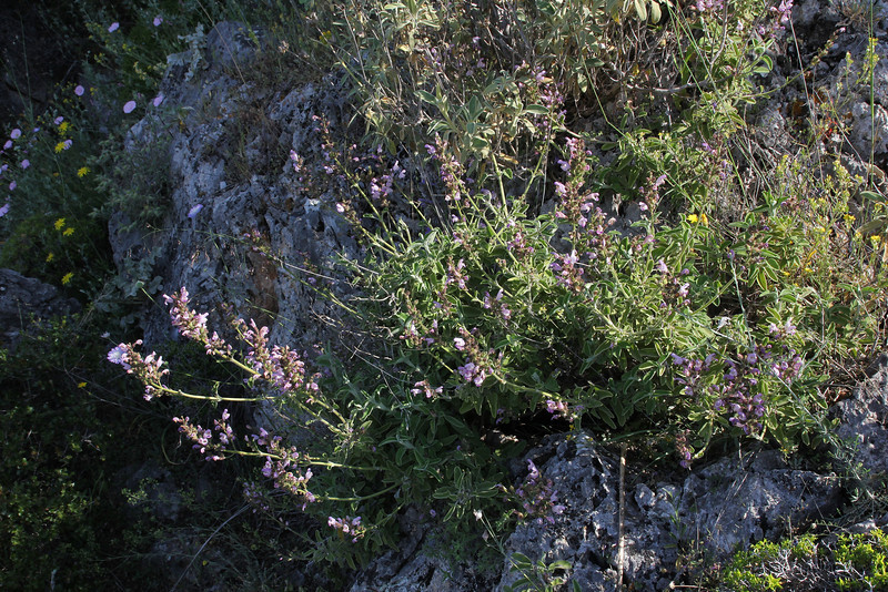 Salvia spec., Delphi-Kroki, Above geological site