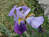 Iris germanica, Vikos Gorge, near the Monastery of Monondendri